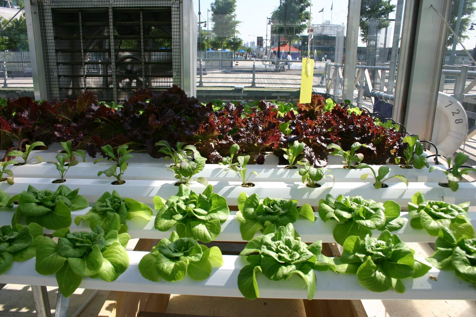 variety of green and red lettuce being grown using hydroponic system