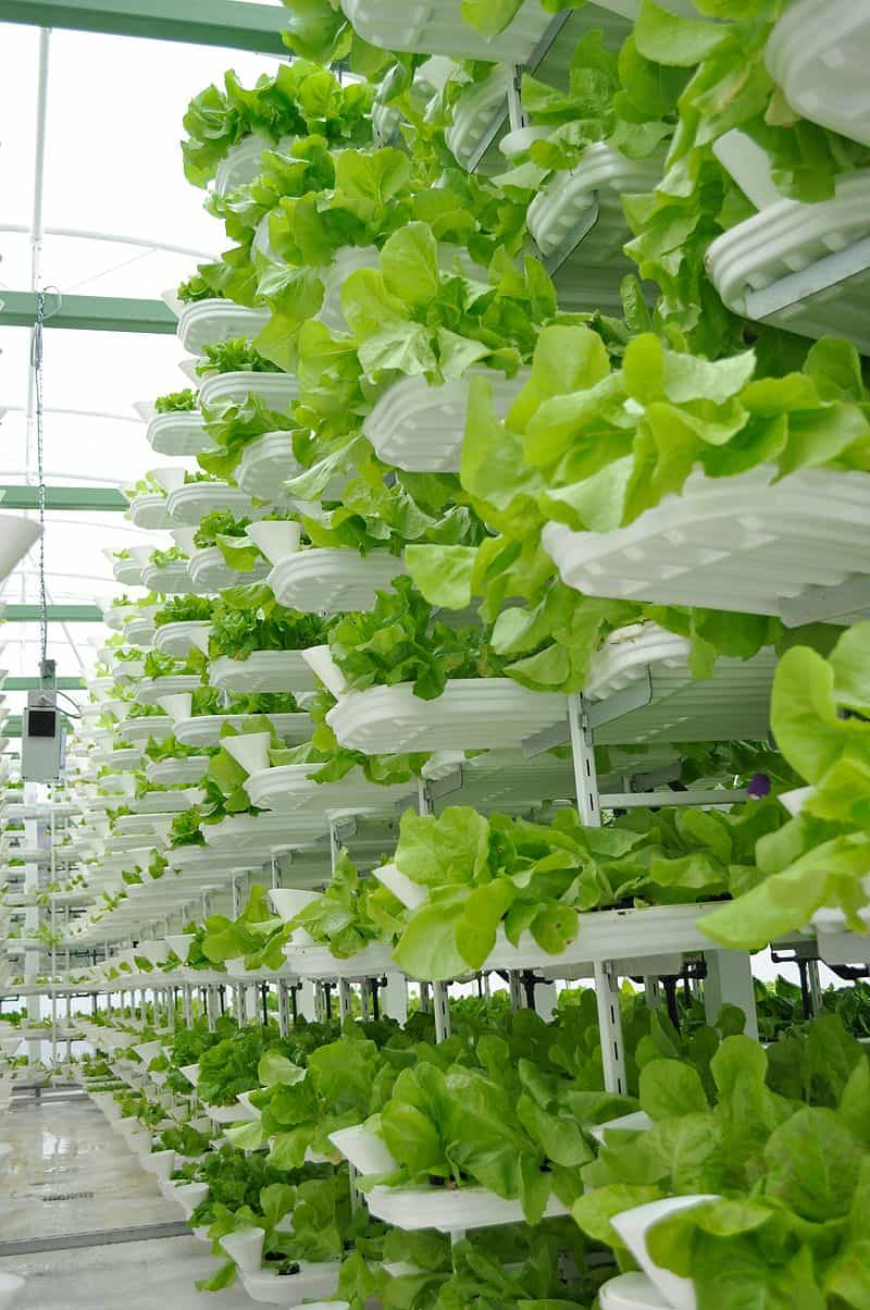 vertical hydroponic system for green lettuce