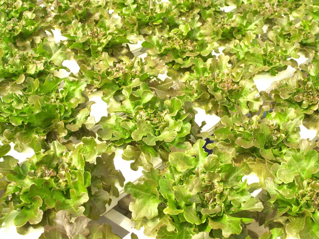 hydroponic system being used on green leafy plants