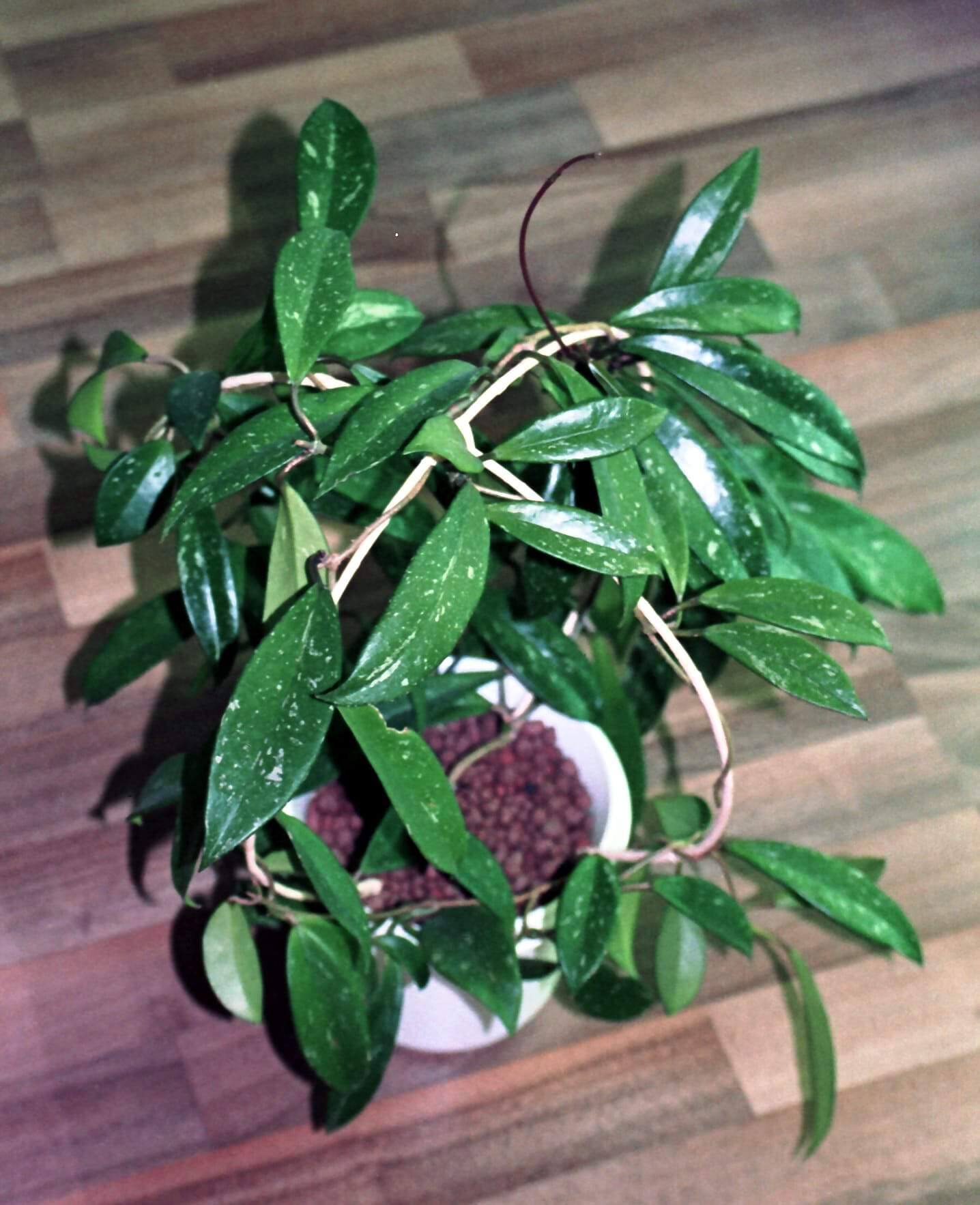 a growing Hoya pubicalyx shrub using hydroponic gardening system