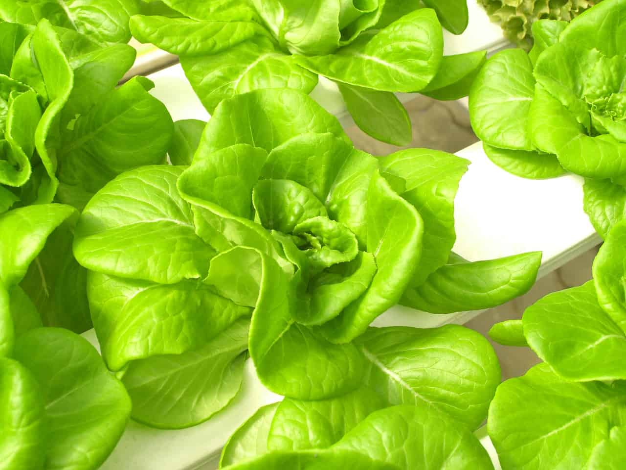 close-up photo of green leafy product of hydroponic system