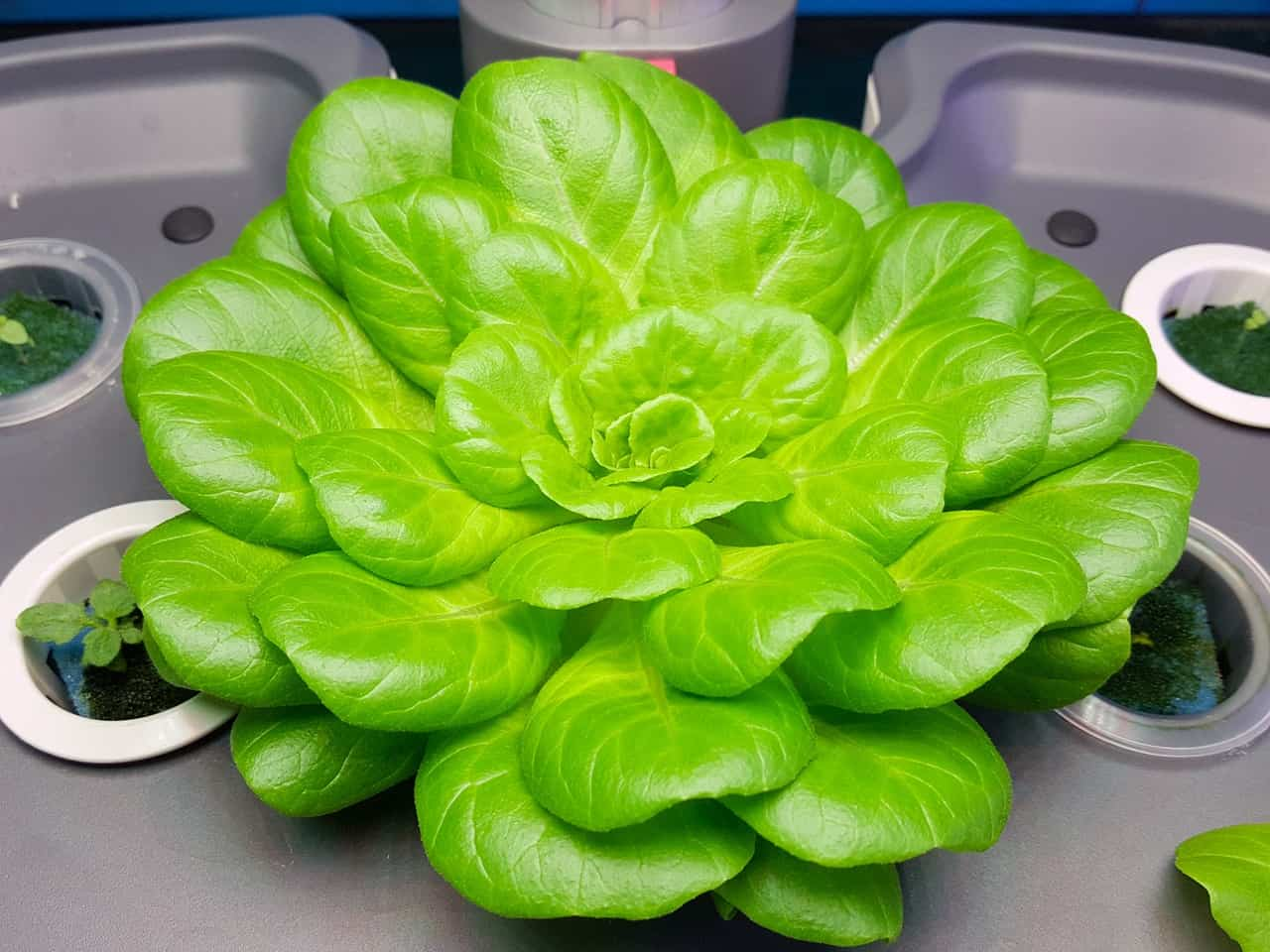 green produced using hydroponic system