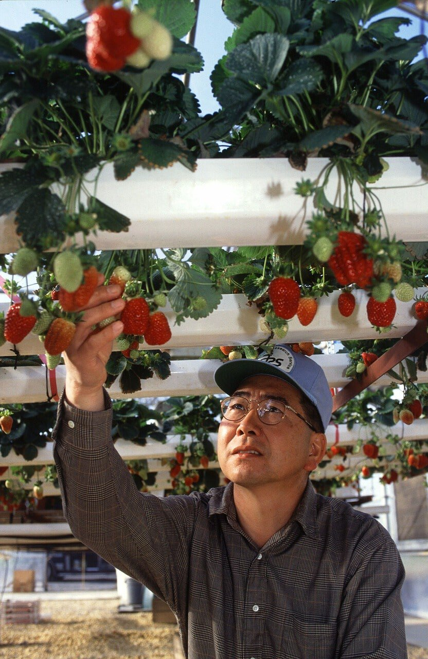 strawberries growing on hydroponic pipes