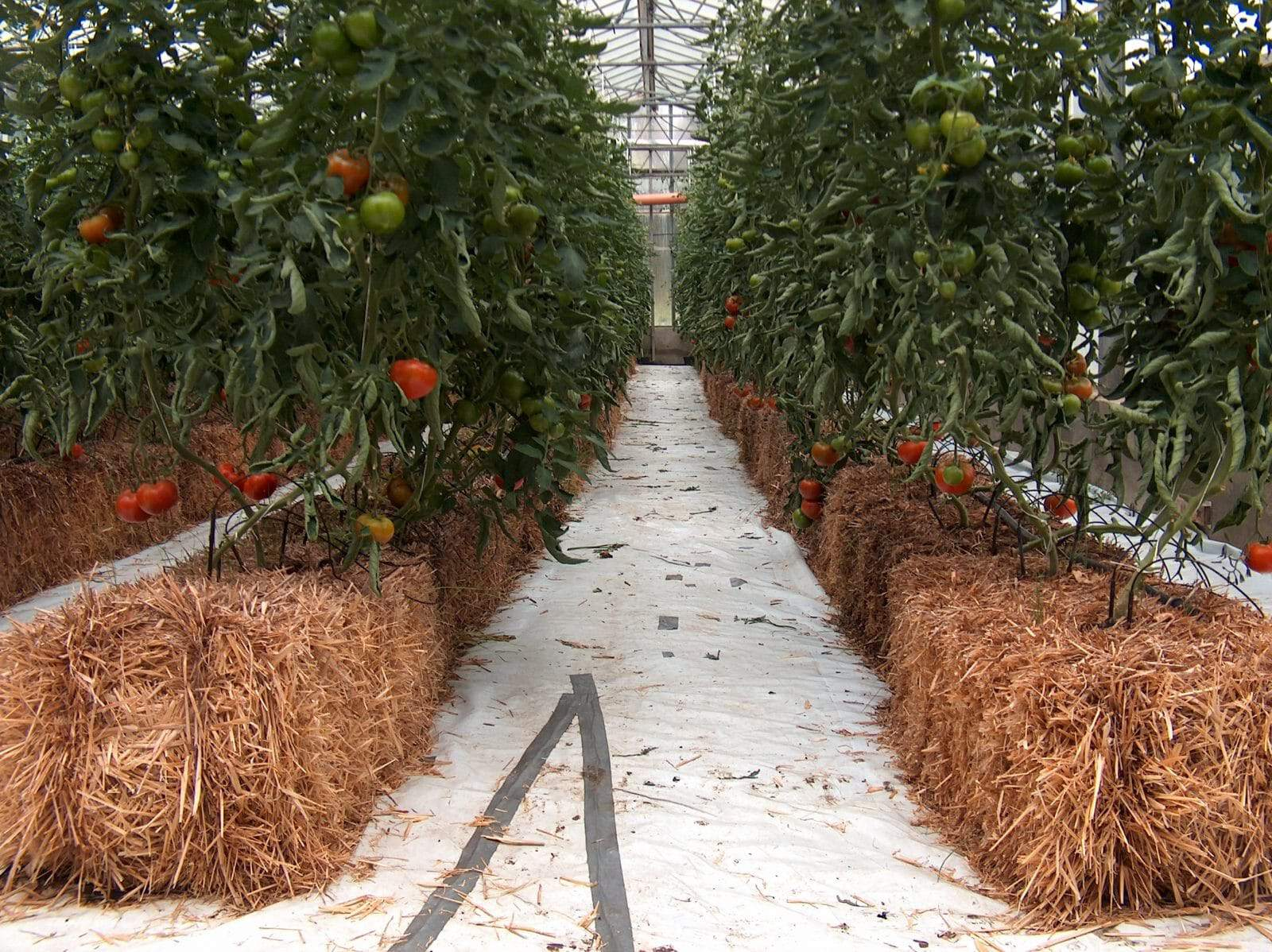 tomatoes being grown using hydroponics system over the straw bales