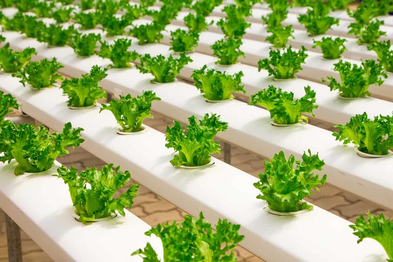 several lettuce being grown in hydroponic system