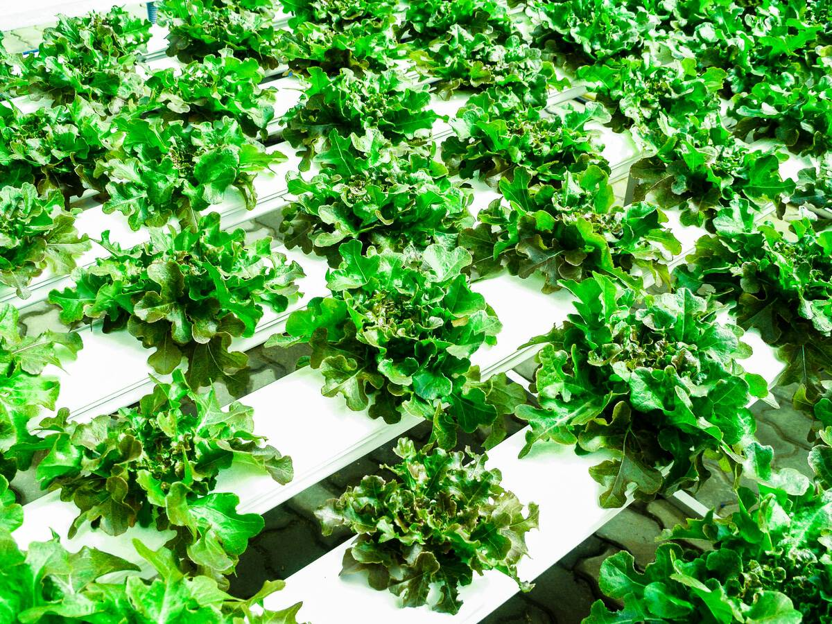 green leafy vegetables being grown using hydroponic system