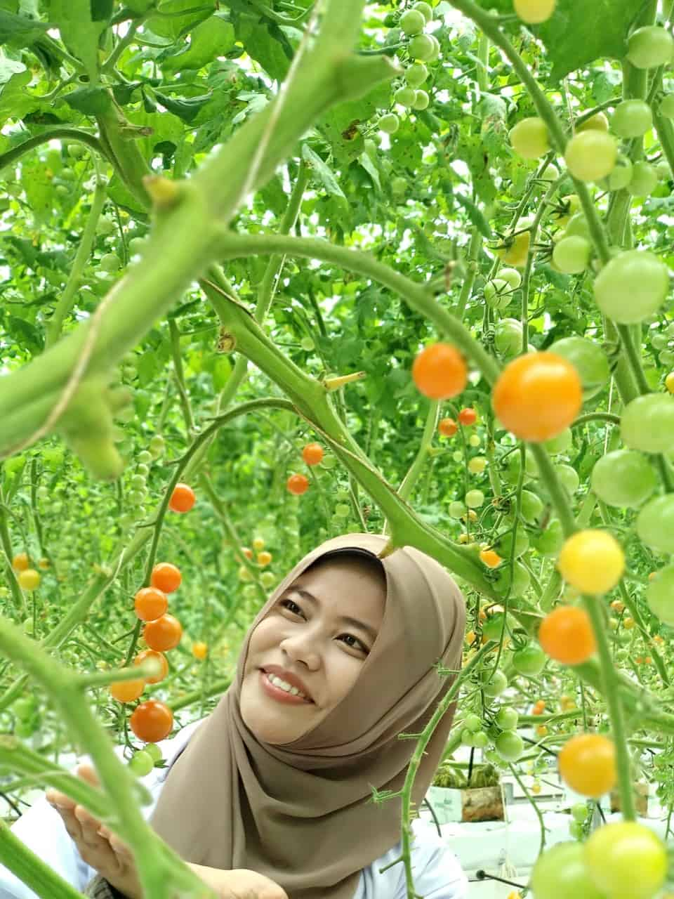 a woman happily picking ripe tomatoes