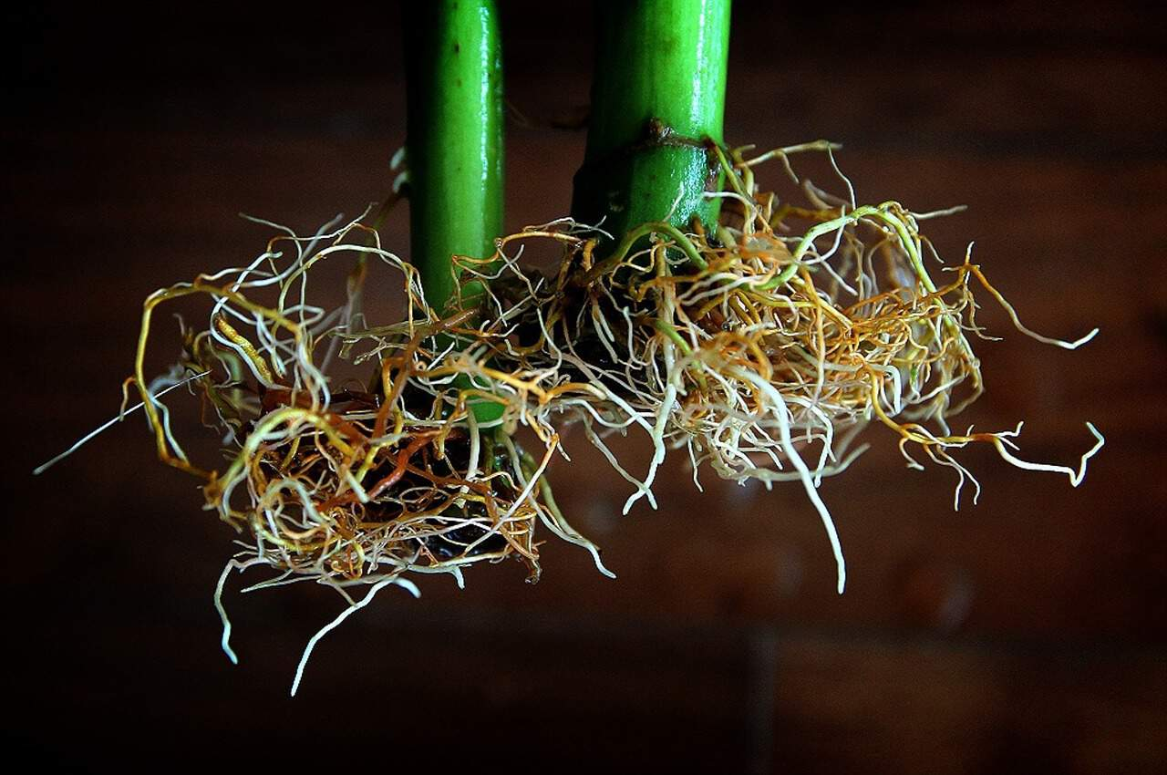 close-up photo focused on the roots of two hydroponic plants