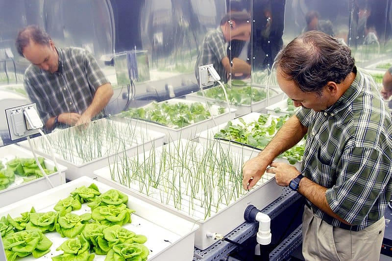 a man arranging the onion on the hydroponic system