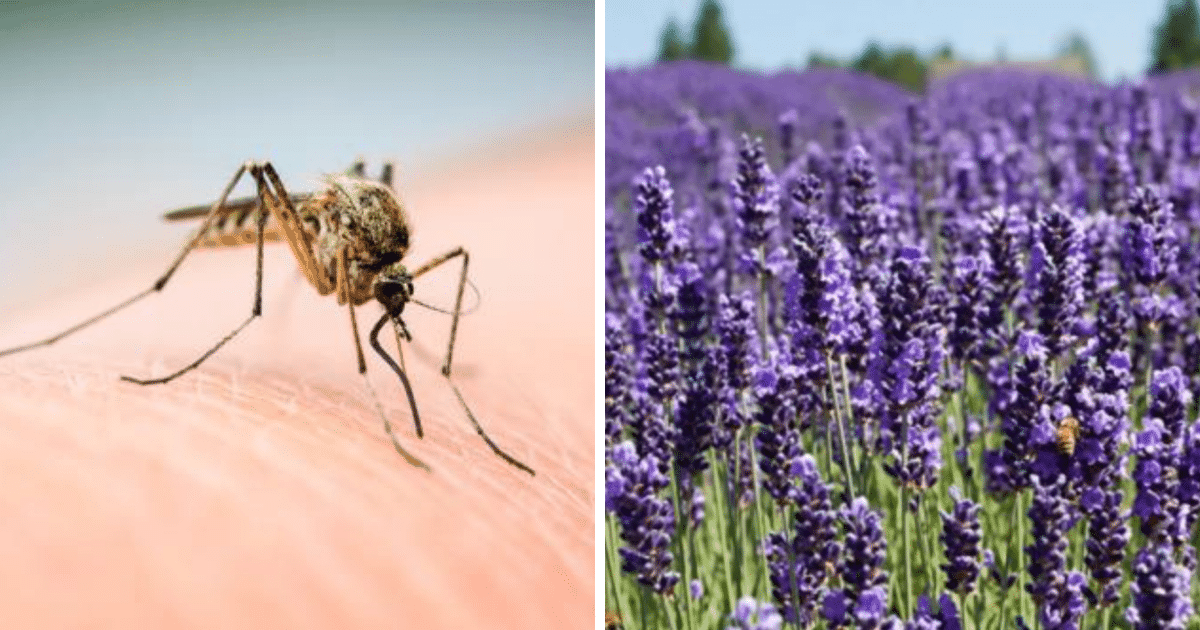 6 Plants Mosquitoes Simply Hate And You Can Easily Grow Them In