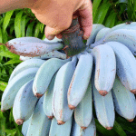 These Incredible Blue Java Bananas Taste Just Like Vanilla Ice Cream